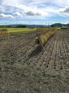 稲刈り_本文2